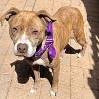 Foster To Adopt, American Pit, Pitbull Terrier, Pet Adoption, Pitbulls, Dog Cat, Dallas Texas, Pets, Animals