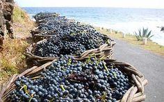 Fruitful harvest: Freshly picked grapes at Maia, Santa Maria