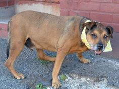 TO BE DESTROYED - 07/13/14 SUPER URGENT 07/03/14 Brooklyn Center  CEASAR - A0419211 (Alt # A1005468 ) ***RETURNED 7/3/14***  MALE, BROWN / BLACK, GERM SHEPHERD MIX, 13 yrs STRAY - ONHOLDHERE, HOLD FOR ID Reason STRAY Intake condition GERIATRIC Intake Date 07/03/2014, From NY 11355, DueOut Date 07/11/2014,  https://www.facebook.com/photo.php?fbid=832793543400193set=a.617942388218644.1073741870.152876678058553type=3theater