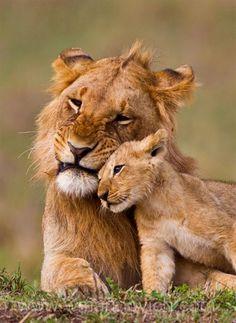 lion brothers by Wayne Marinovich Cute Kittens, Cats And Kittens, Beautiful Cats, Animals Beautiful, Cute Baby Animals, Animals And Pets, Animals Images, Gato Grande, Wild Lion