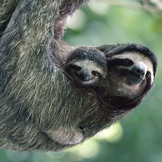 Sloths. Am I the only one imagining that the little one can speak, and it sounds just like Peter Lorre?