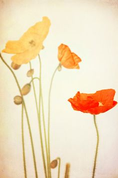 Flower Photography Poppies Orange Red Yellow by LawsonImages, $30.00