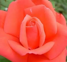 coral coloured rose - meaning Desire