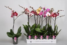 Phalaenopsis- Phalaenopsis-hybrider Orkidefamilien / Orchidaceae