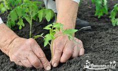 Как правильно высадить рассаду помидор в грунт? Советы опытных агрономов по высадке помидор, а также сроки высадки рассады в открытый грунт