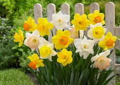 Spread sunshine in your garden when you plant daffodil bulbs this fall. More than any other flower, daffodils emerging hold promise of warm days ahead. Daffodil Bulbs, Bulb Flowers, Potted Flowers, Paper Flowers, Flower Seeds, Flower Pots, Flower Farm, Pictures Of Daffodils, Deer Resistant Annuals