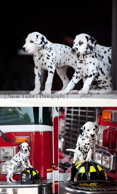 Im in love <3 #Dalmatian