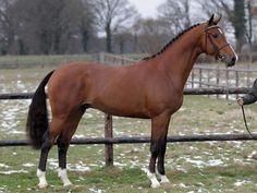 Jumper for Sale - Warmblood Flame - Stallion horse for sale | Benny de Ruiter Stables