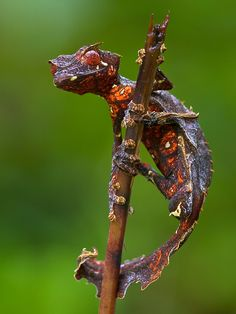 Resultado de imagen para uroplatus gecko