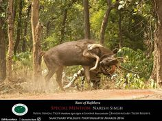 Another one from the same series wins a Special Mention in Sanctuary Wildlife Awards 2016.  Naresh Singh aka Gudda is a senior naturalist at Pugdundee Safaris Kings Lodge Bandhavgarh. Well done Gudda!  #withpugdundee #wildlife #photographygoals #photographer #wildlifephotography #sanctuary #tiger #tiger #SanctuaryAwards #SanctuaryAsia #Bandhavgarh #india #InstaDaily #wildlifelovers #wildlifeofindia