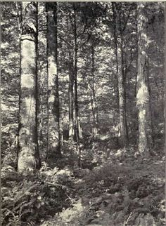 Fig. 18.   Beech and Sugar Maple Forest.