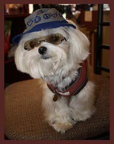 celebrities with maltese | Celebrity/Maltese look alike - Maltese Dogs Forum : Spoiled Maltese ...