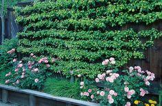 How to make an espalier with wires on a garden wall - sunset magazine Garden Trellis, Garden Gates, Espalier Fruit Trees, Low Maintenance Garden Design, Pergola Pictures, Wie Macht Man, Market Garden, Outdoor Garden Furniture, Edible Garden