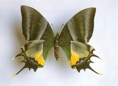 Golden Kaiser-i-Hind butterfly (Teinopalpus aureus) of China