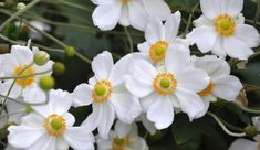 white japanese anemone flower Anemone Bouquet, Anemone Flower, Types Of White Flowers, What Are Weeds, Japanese Anemone, Types Of Colours, English Country Gardens, Moon Garden, Bulb Flowers