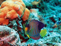 pacific remote islands national monument images | regal angelfish on a reef in the Pacific Remote Islands (Photograph ...