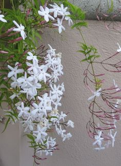 gardens are filled with the aroma of Jasmine. Andalucía huele a Jazmines, Damas de Noche y Azahar. Que Aromas tan Deliciosos. Types Of Air Plants, Air Plants Care, Exotic Flowers, White Flowers, Jasmine Vine, Hanging Air Plants, Tout Rose, Persian Garden, Beautiful Flowers Wallpapers