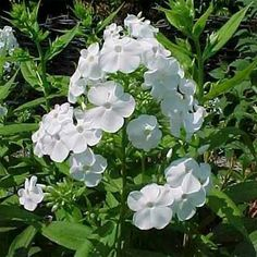 Garden phlox (Phlox paniculata 'David') blooms in midsummer with clusters of white flowers with rounded, toothed, green leaves. Grows up to 4 feet high and 3 feet wide in zones 4 to 8. | Photo: mobot.org
