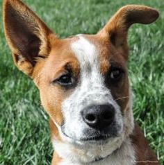 Deogi is an adoptable Cattle Dog Dog in Fillmore, IN. So--I have big ears--just makes me cuter right? I have a lot of energy and love to play! I am doing really well in my foster home with potty train...
