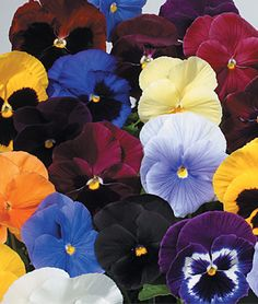Pansies - my very favorite annual flower.  Here's a very comprehensive article about them.