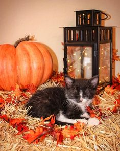 Avoiding life by exploiting the foster kitten. Fall Dog Photos, Fall Season Pictures, Fall Pictures, Cute Puppy Photos, Puppy Pictures, Puppy Photo Ideas, Fall Cats, Kitten Photos, Foster Kittens