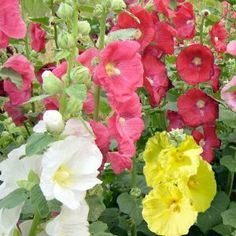 """100 Seeds, Hollyhock """"Single Blend"""" (Alcea rosea) Seeds By Seed Needs by Seed Needs: Flowers. $1.85. Quality Hollyhock Seeds Packaged by """"Seed Needs"""". Biennial plants that bloom the second year. If started early enough, you can get blooms from the first year. This mixture of Hollyhocks grows to a mature height of 72 to 84 inches tall. Easy planting instructions along with a colorful picture printed on each """"Seed Needs"""" packet!. These plants prefer an area of full sunli..."""