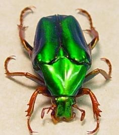 green jewel beetle