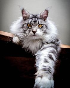 Fluffy Maine Coon. Love the coloring of this cats fur.