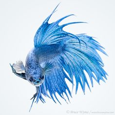 Crowntail betta by Bruce Wyma.