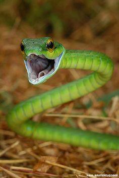 Parrot-Snake