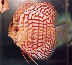 Discus (Symphysodon aequifasciatus))South American Cichlids  Discus Adult Size: 6 inches (cm)  Discus Life Expectancy: 16 years  Discus Habitat: Amazon lakes and rivers  Discus Minimum Tank Size: 40 gallons  Discus Temperament: Peaceful schooling fish that can be skittish.