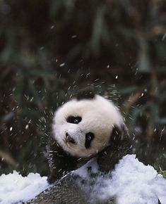 Baby Panda Bear In The Snow