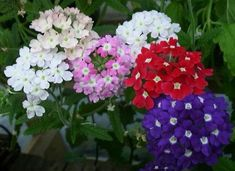 This is a guide to 10 of the easiest perennial plants to grow from seed. Perhaps you are looking at packets of perennial flower seeds and are wondering which ones are the best and the easiest to grow. Kalanchoe Blossfeldiana, Flowers Perennials, Planting Flowers, Garden Art, Garden Plants, Verbena Plant, Growing Seeds, Annual Plants, Types Of Soil