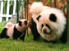 Chow Chow dogs, dyed to look like pandas, play at the Dahe Pet Civilization Park in Zhengzhou, Henan province in China. Not sure how I feel about this. animals
