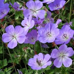 Geranium 'Azure Rush' A more compact form of 'Rozanne' Magenta, Hardy Geranium, Cottage Garden Plants, Herbaceous Perennials, Hollyhock, Bright Flowers, English Roses, Geraniums, Peonies