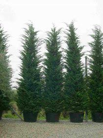 Trees Planet: Cupressocyparis leylandii - Leyland Cypress Cypress Trees, Evergreen Trees, Outdoor Plants, Outdoor Gardens, Leylandii Hedge, Monterey Cypress, Vascular Plant, Ornamental Plants, Hedges