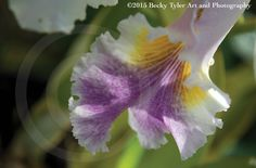 Cattleya Orchid Fine Art Photo Print by BeckyTylerArt on Etsy