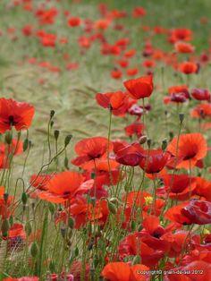 grain de sel - salzkorn: die Blume der Leidenschaft - Klatschmohn