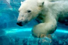 Newsela   It's getting harder for polar bears to act naturally, even in nature