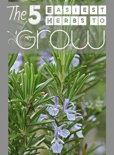 5 Super Easy Herbs to Grow!  Tips and tricks to growing these easy herbs, indoor or outdoor.