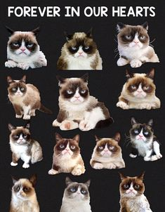 Grumpy Cat - Grumpy Cat - Ideas of Grumpy Cat - Grumpy Girl You Will Forever Be In Our Hearts Thanks For All The Fun And Laughs Your Grumpy Face Brought To All Of Us You Will Be Missed But Never Forgotten The post Grumpy Cat appeared first on Cat Gig. Grumpy Cat Quotes, Funny Grumpy Cat Memes, Grumpy Face, I Love Cats, Crazy Cats, Cool Cats, Kittens Cutest, Cats And Kittens, Cat Memorial