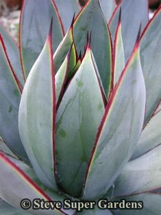 Agave Blue Glow- A stunning Agave that is a hybrid between Agave attenuata (possibly Nova) and A. Forms solitary rosettes of beautiful Agaves, Cacti And Succulents, Planting Succulents, Trees To Plant, Plant Leaves, Agave Blue Glow, Agave Attenuata, Sempervivum, Agave Plant