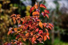 Jesienny bez lilak. Czerwone jesienne liście bzu ogrodowego w popołudniowym słońcu. Fotografia pochodząca z galerii fotograficznej : Jesień - Fotografie jesienne.