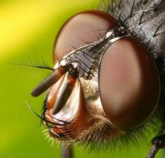 macro picture of a fly, amazing compound eyes
