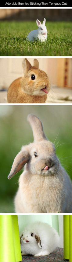 Bunnies Sticking Their Tongues Out