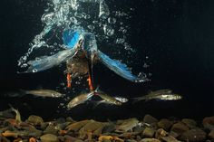 A kingfisher hunting underwater. Manfred Delpho captured an amazing split second with his camera.