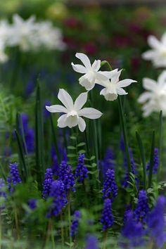 Weiße Narzissen und blaue Traubenhyazinthen (Muscari) - Fantastisch! - für den eigenen Garten: Pflanzzeit als Blumenzwiebeln im Herbst.
