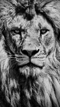 A piece of fine art art photography titled Portrait by Linus Karlsson Lion Images, Lion Pictures, Angry Animals, Animals And Pets, Tattoo Bauch, Black And White Lion, Lion Tattoo Sleeves, Lion Photography, Lion Head Tattoos
