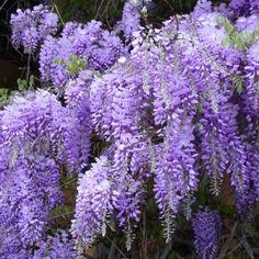 Glycine de Chine Bleue (Wisteria sinensis) - AlsaGarden