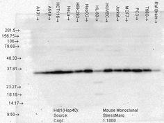 SMC-145,-Hsp40-HDJ1-(3B9-E6),-Human-Cell-Line-Mix.jpg (480×361)